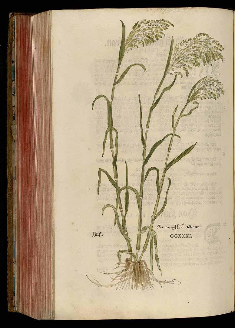 Panicum miliaceum