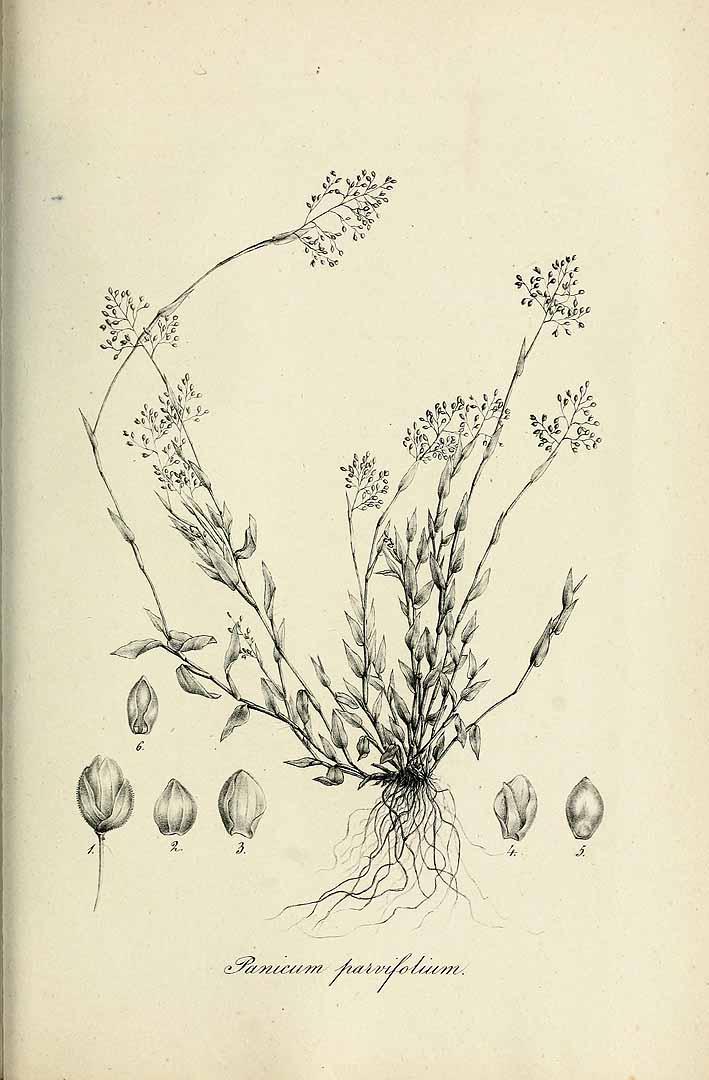 Panicum parvifolium