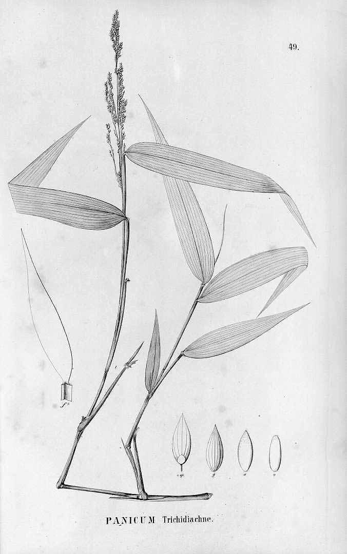 Panicum trichidiachne