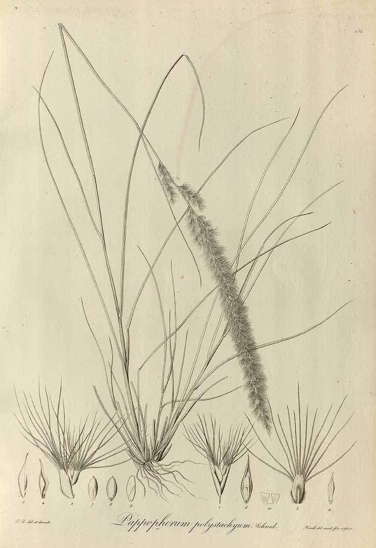 Pappophorum pappiferum