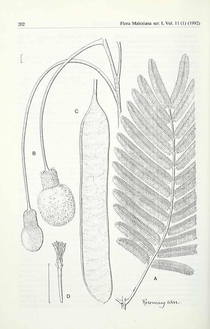 Parkia timoriana