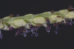 Paspalum caespitosum