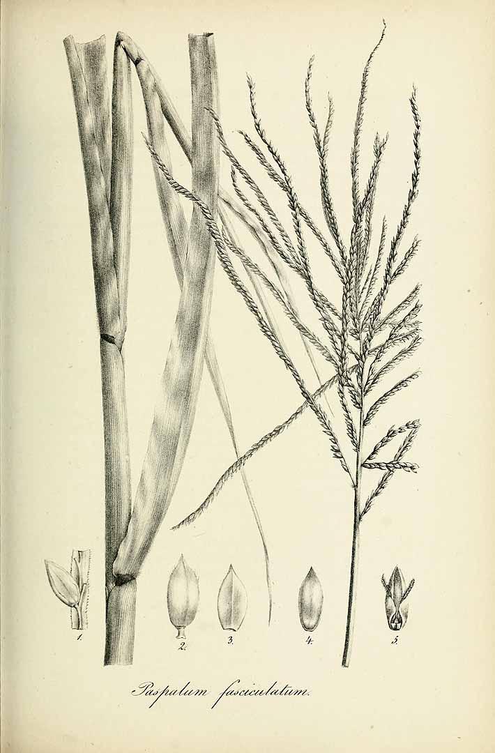 Paspalum fasciculatum