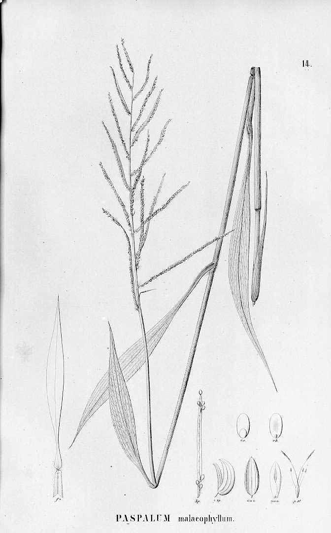 Paspalum malacophyllum
