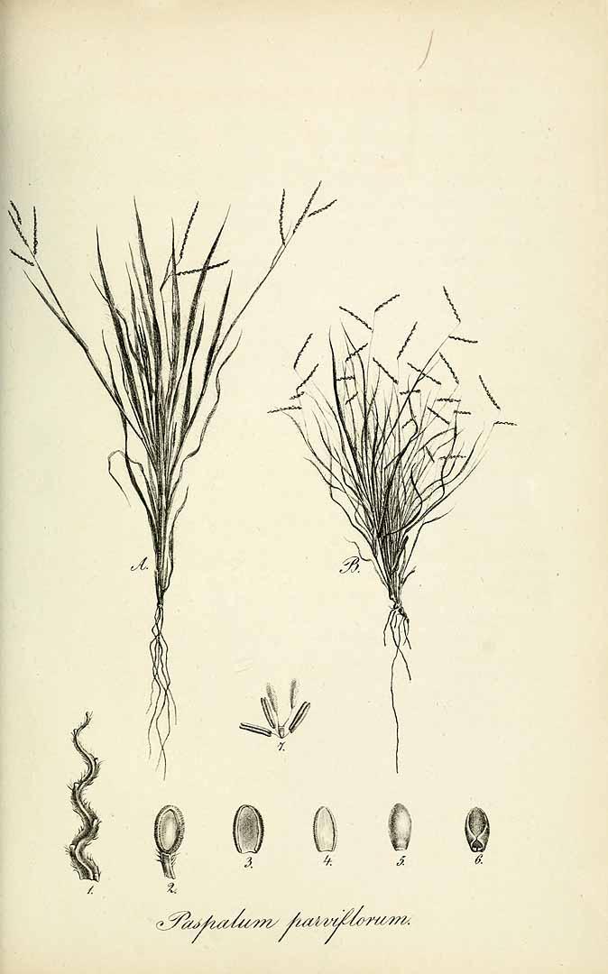 Paspalum parviflorum