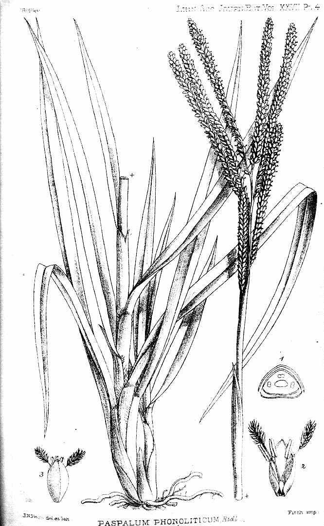 Paspalum pleostachyum
