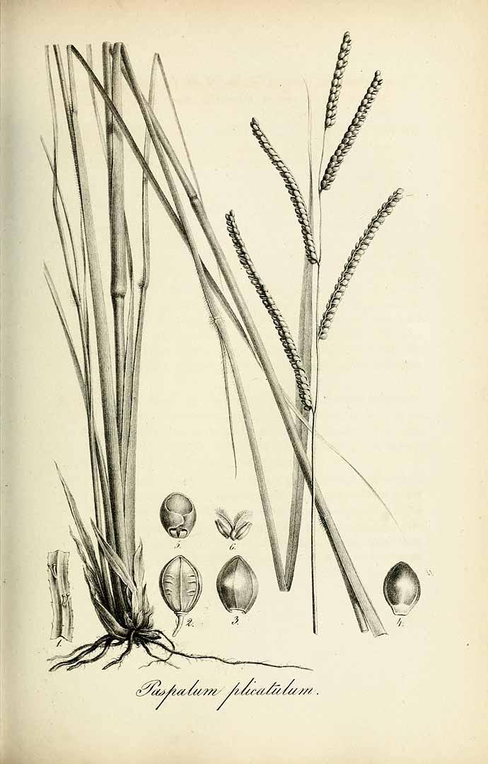 Paspalum plicatulum