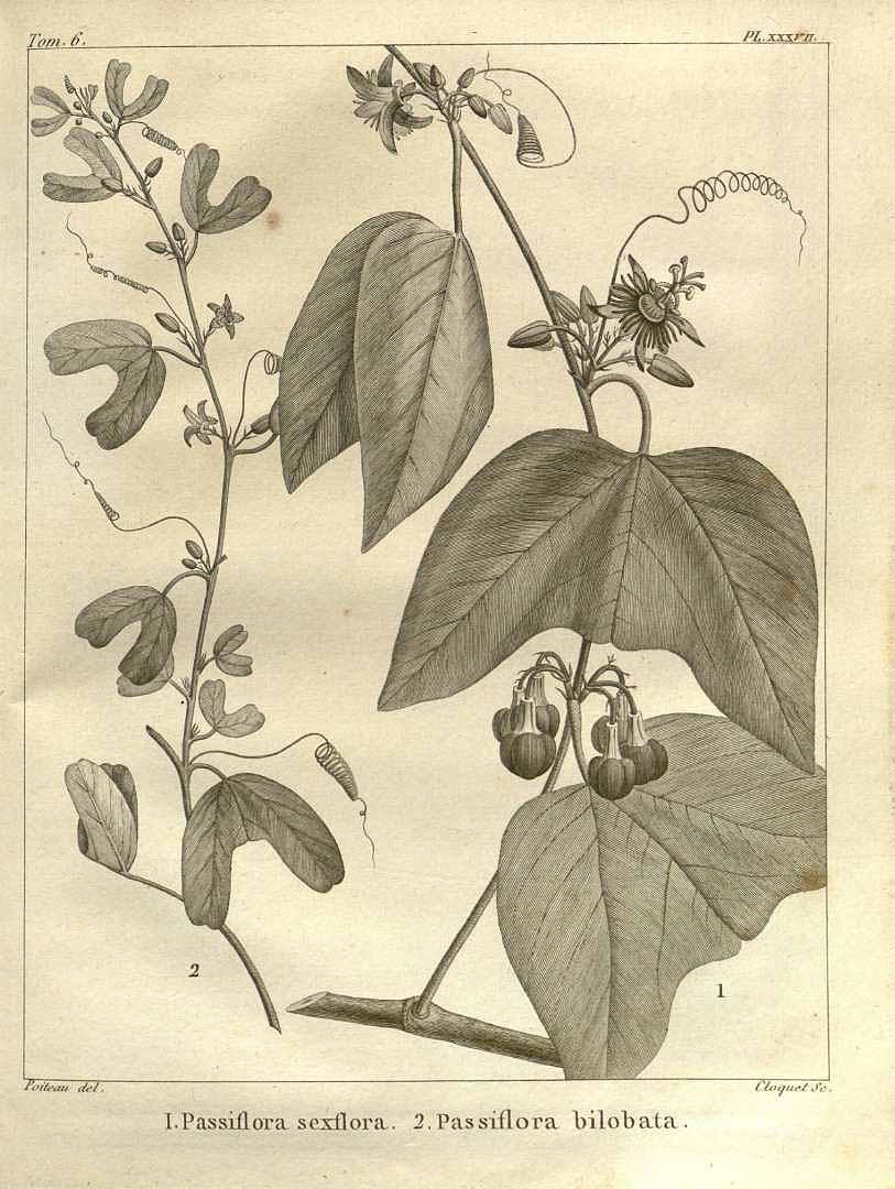 Passiflora bilobata
