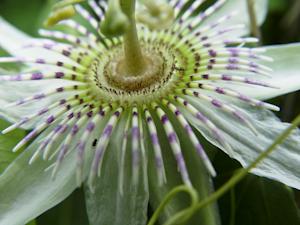 Passiflora pallens