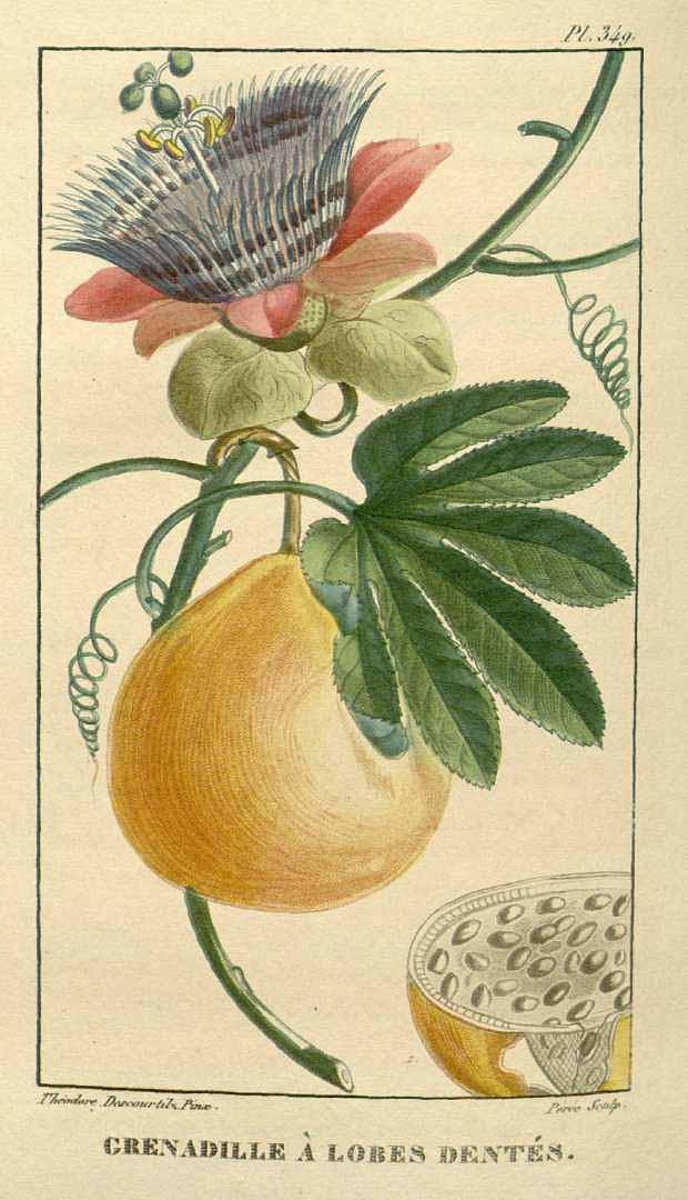 Passiflora serratodigitata