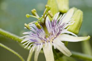 Passiflora sexflora