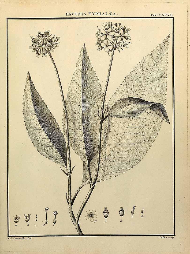 Pavonia fruticosa