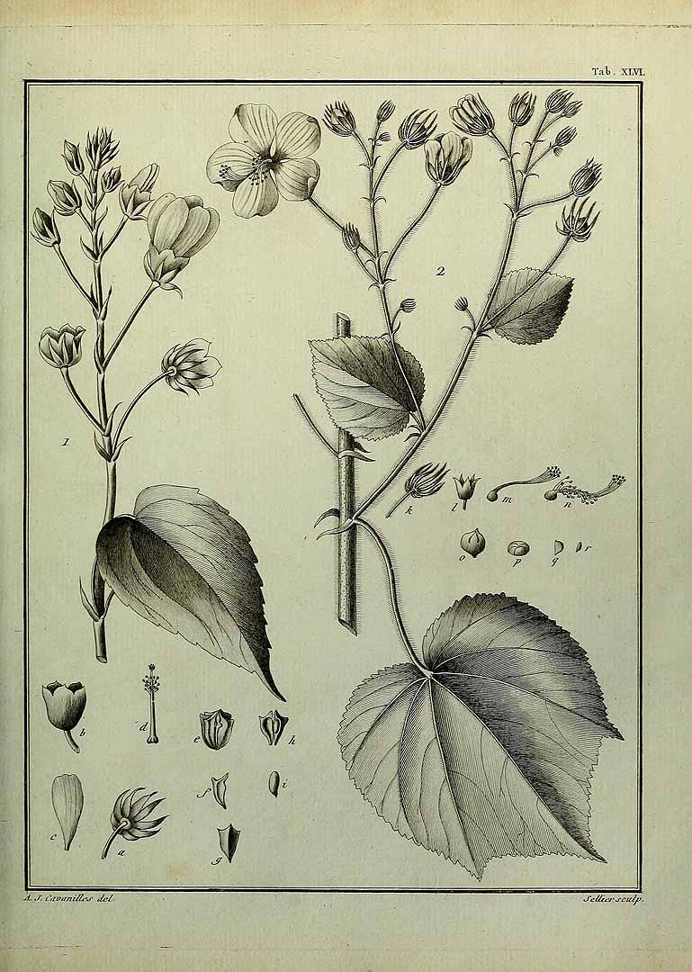 Pavonia paniculata