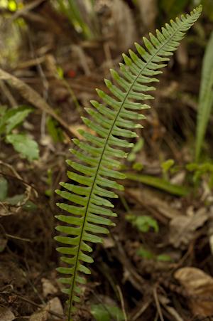 Pecluma ptilodon