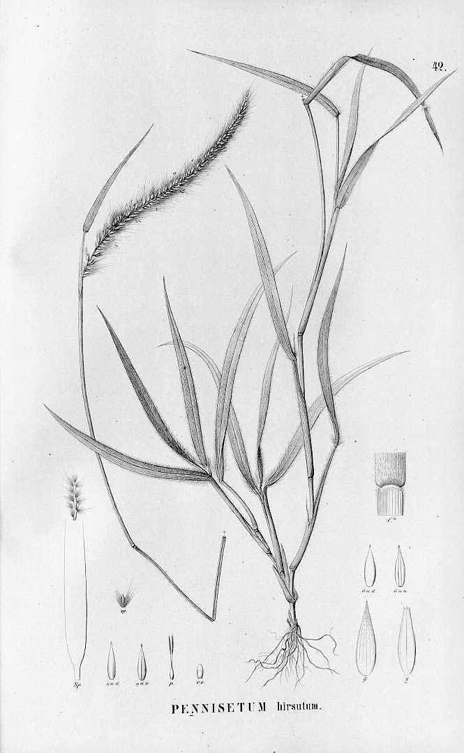 Pennisetum polystachion