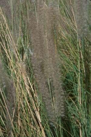Pennisetum setaceum