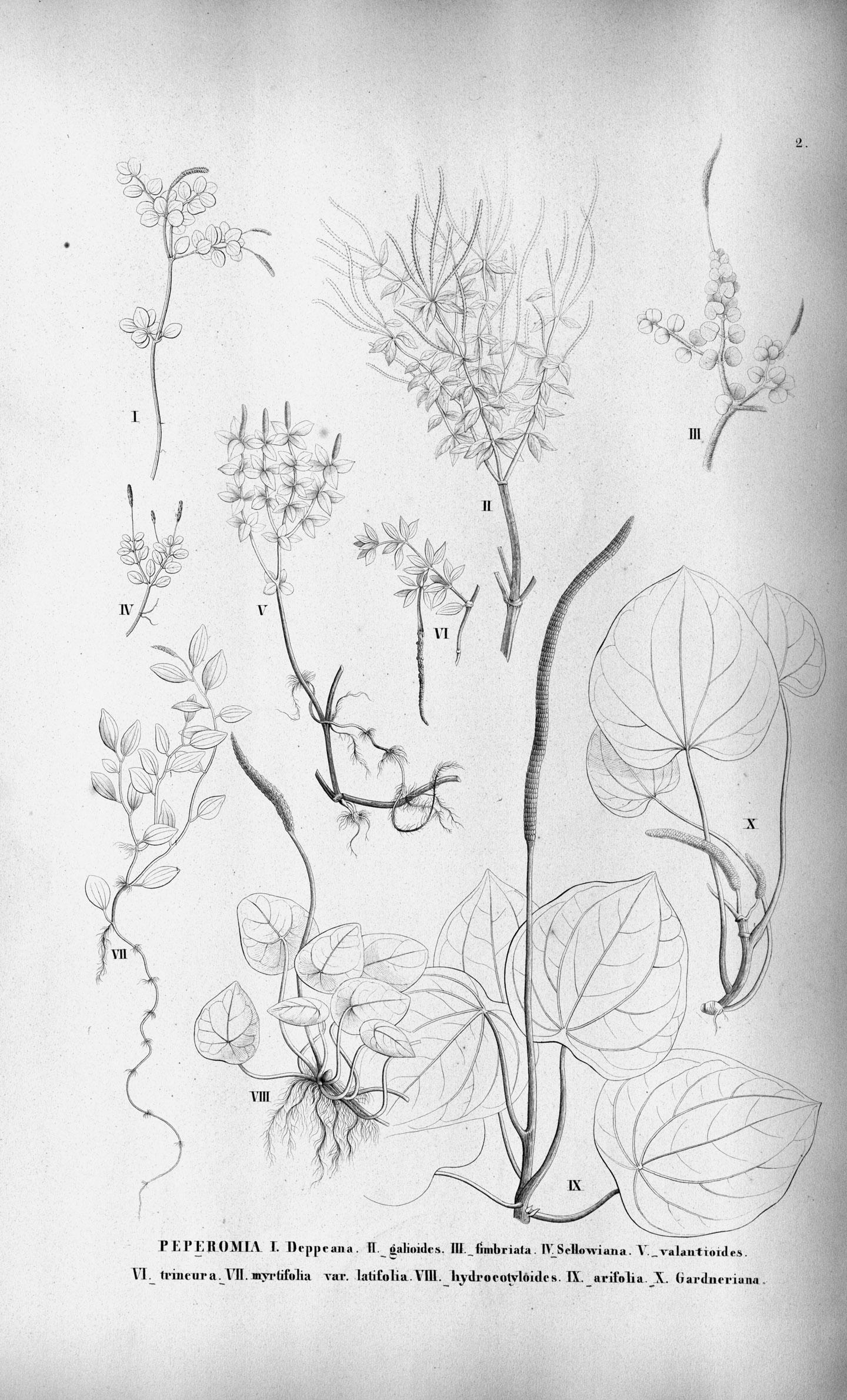 Peperomia myrtifolia