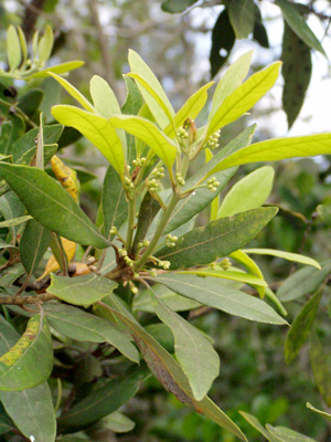 Persea palustris