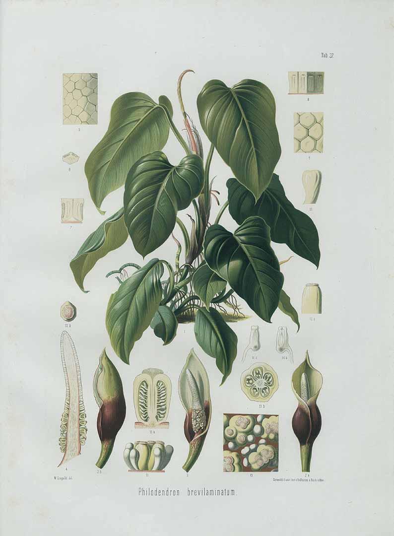 Philodendron fragrantissimum