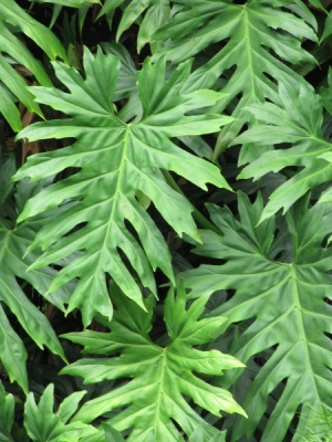 Philodendron lacerum