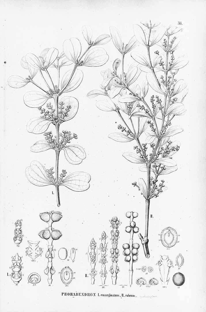 Phoradendron mucronatum