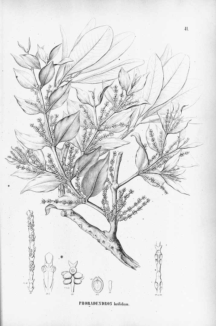 Phoradendron piperoides