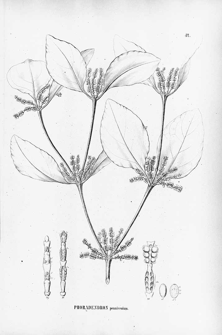 Phoradendron racemosum