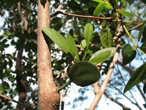Phoradendron rubrum