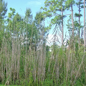 Phragmites australis