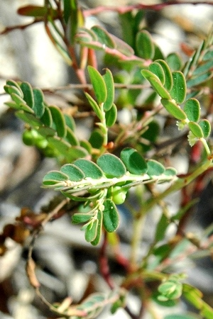 Phyllanthus abnormis