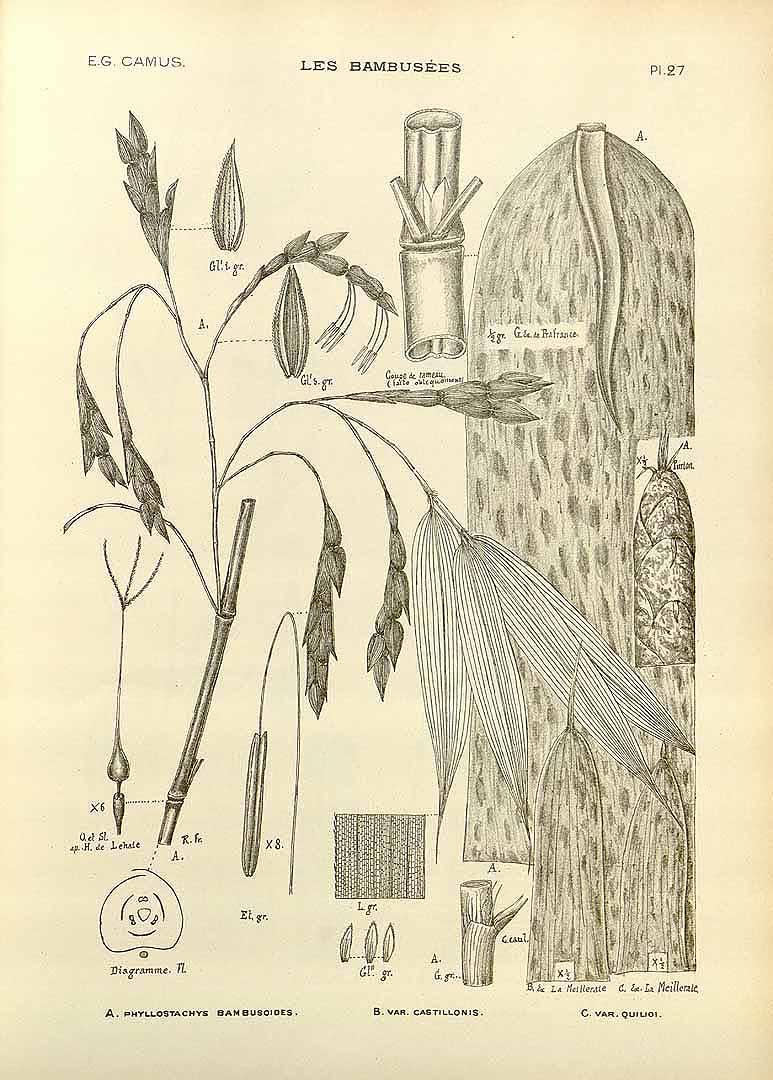 Phyllostachys bambusiodes