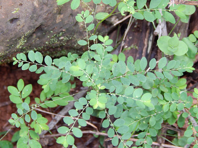 Phyllanthus debilis