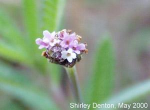 Phyla stoechadifolia