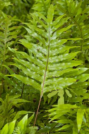 Phymatosorus grossus