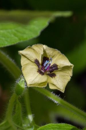 Physalis pubescens