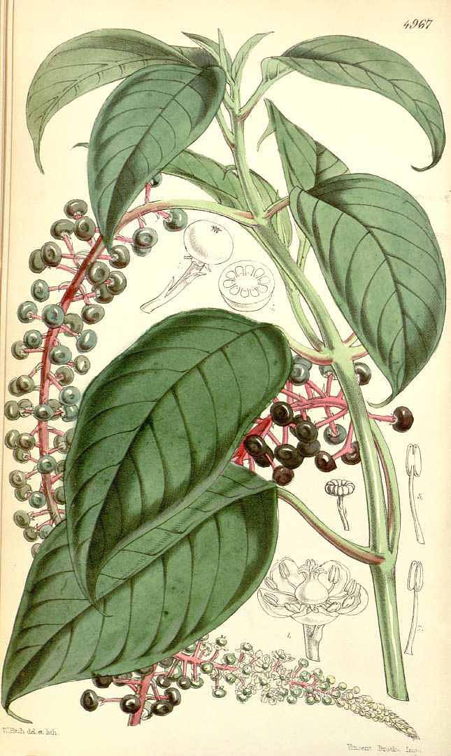 Phytolacca icosandra