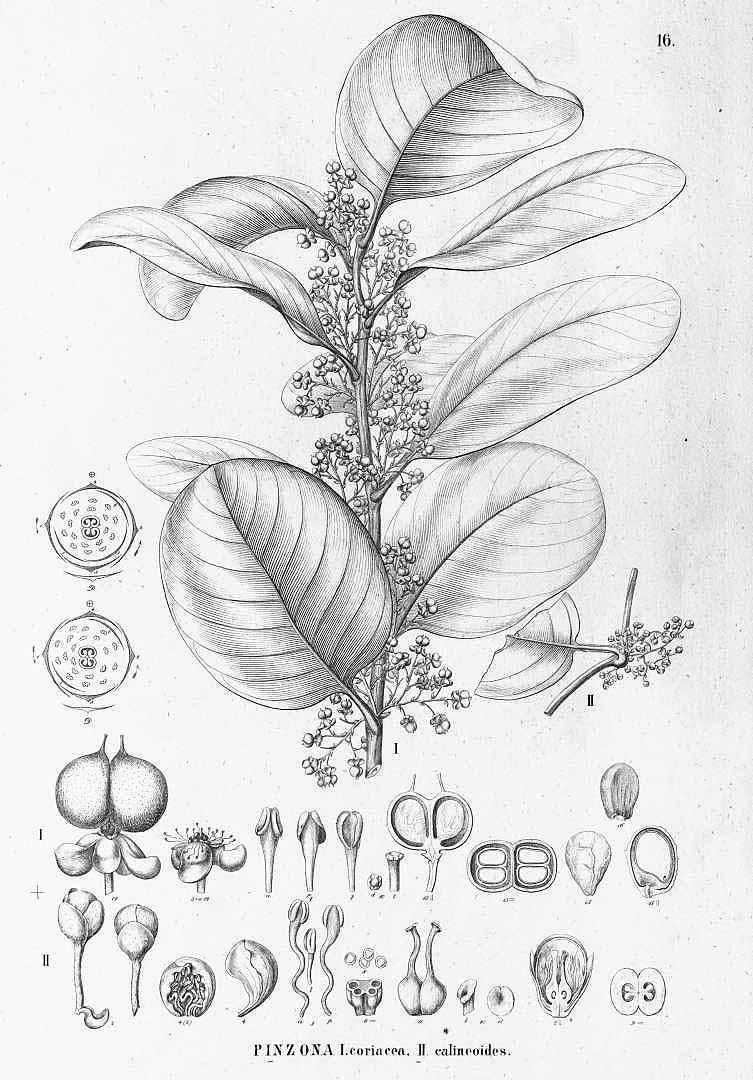 Pinzona coriacea