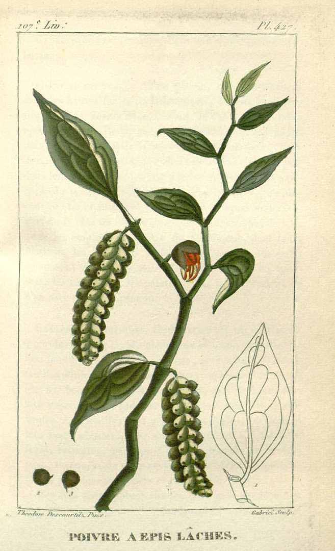 Piper jacquemontianum
