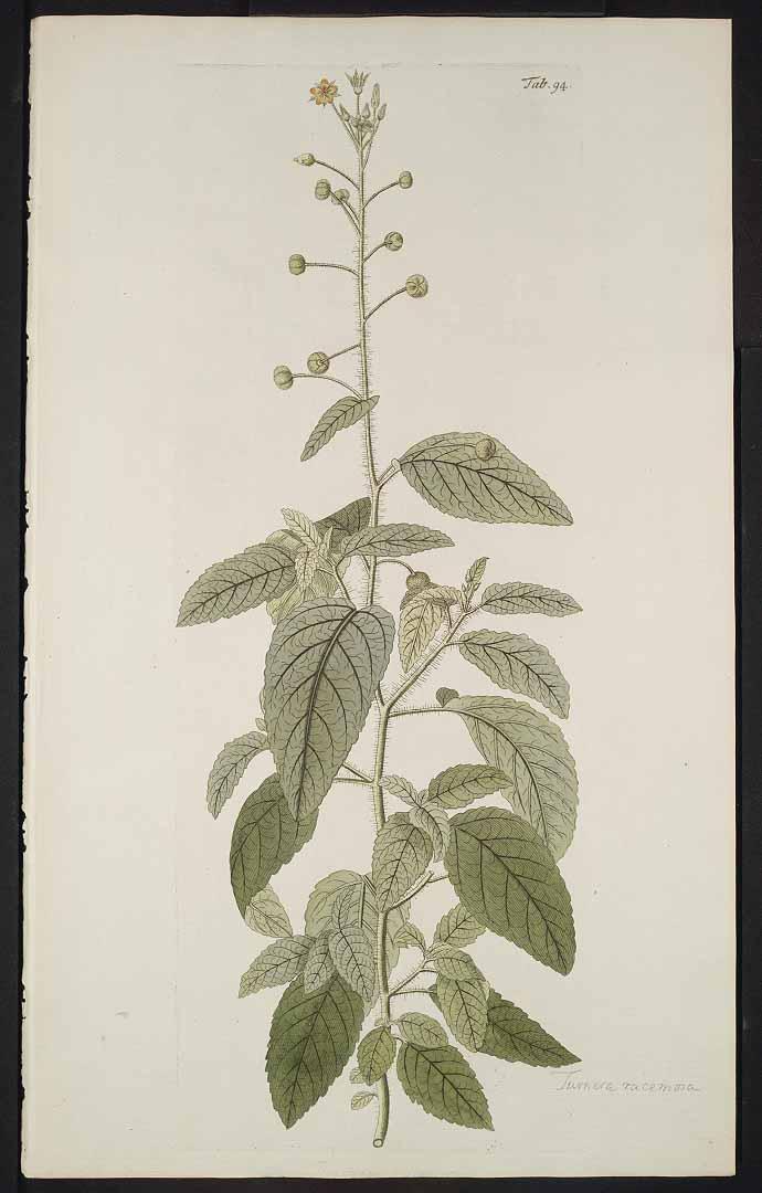Piriqueta racemosa