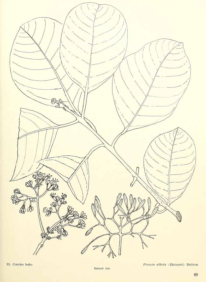 Pisonia albida