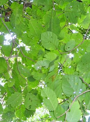 Pisonia horneae