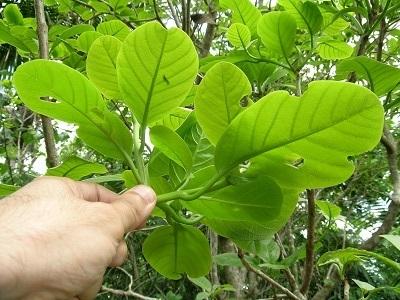 Pisonia roqueae