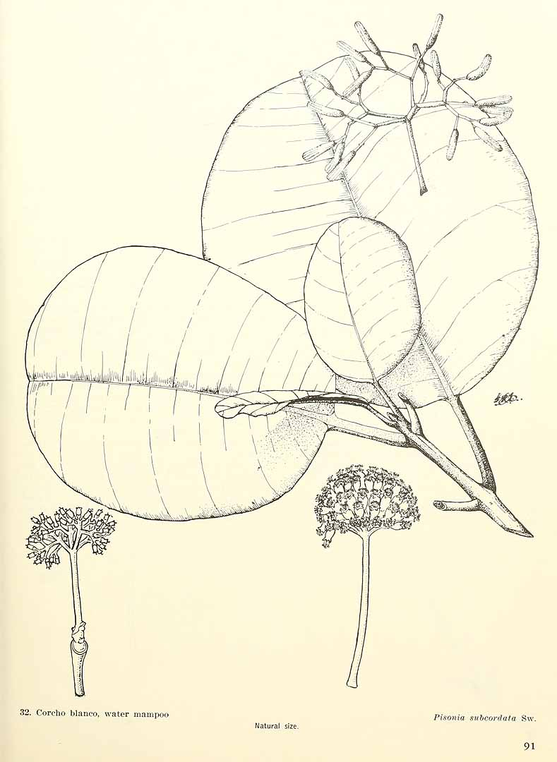 Pisonia subcordata