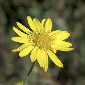 Pityopsis graminifolia