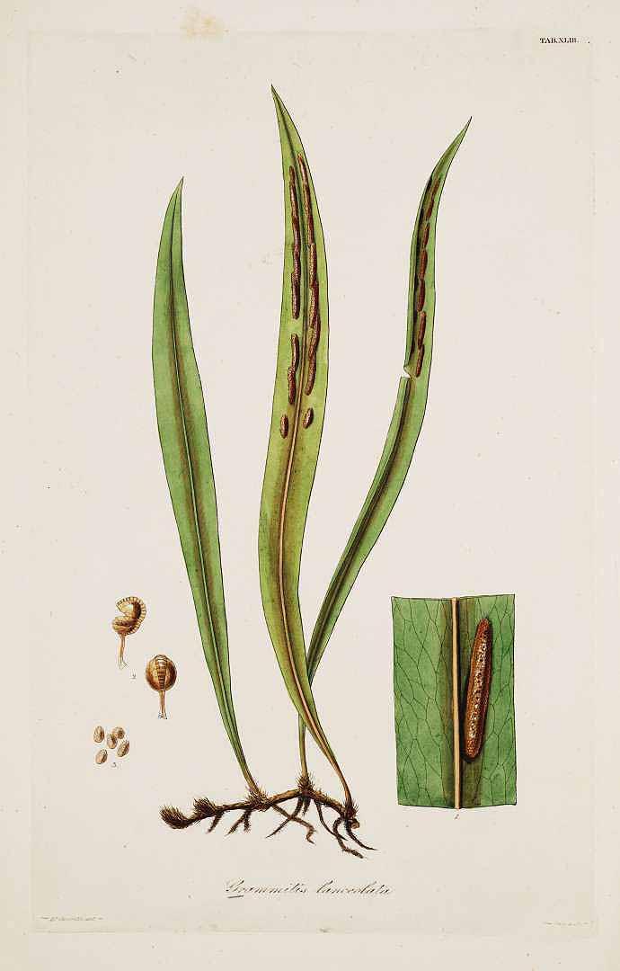 Pleopeltis astrolepis