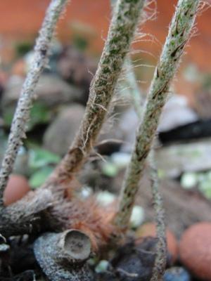 Pleopeltis squamata