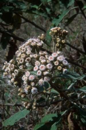 Pluchea carolinensis