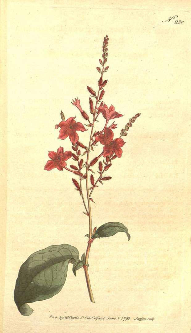 Plumbago indica