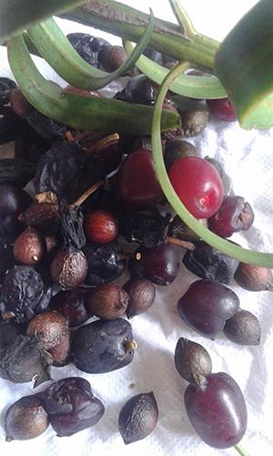 Podocarpus coriaceus