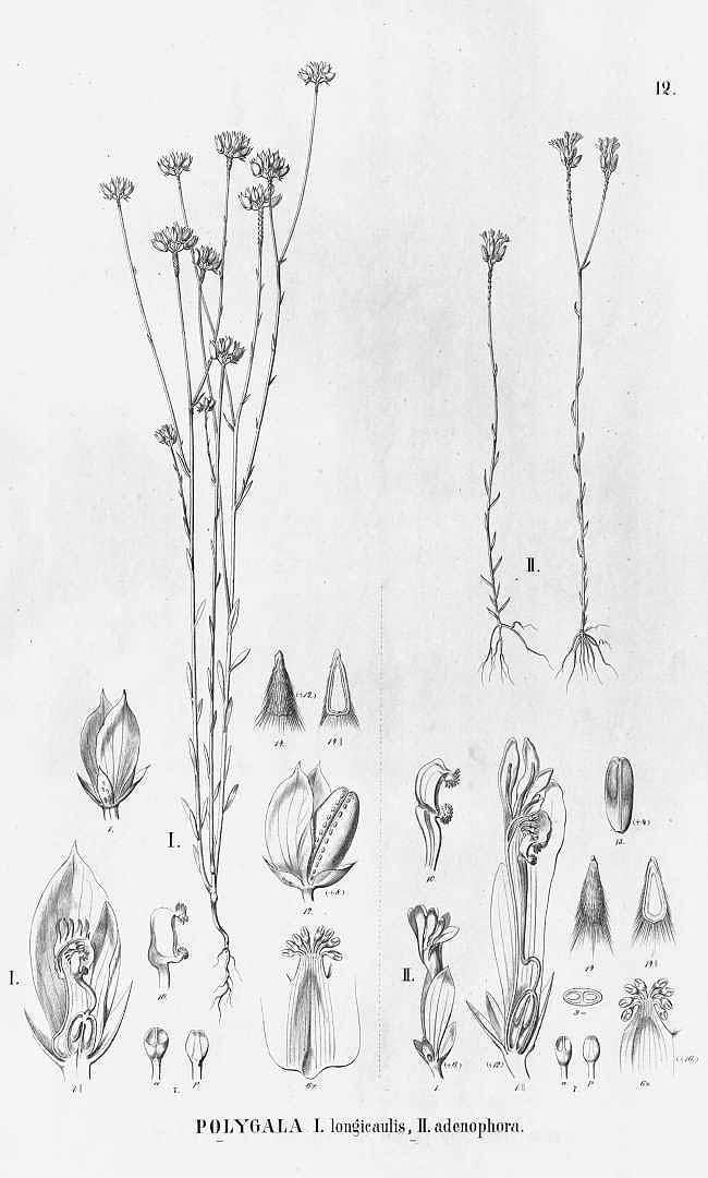 Polygala longicaulis